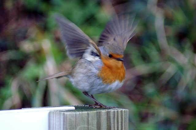 Petit oiseau remi chapeaublanc photographer for Petit oiseau avec houpette