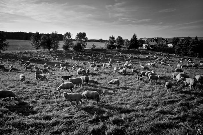 Les moutons et la chèvre