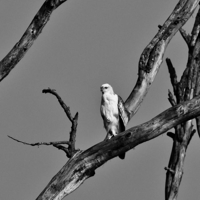 Aigle au Népal