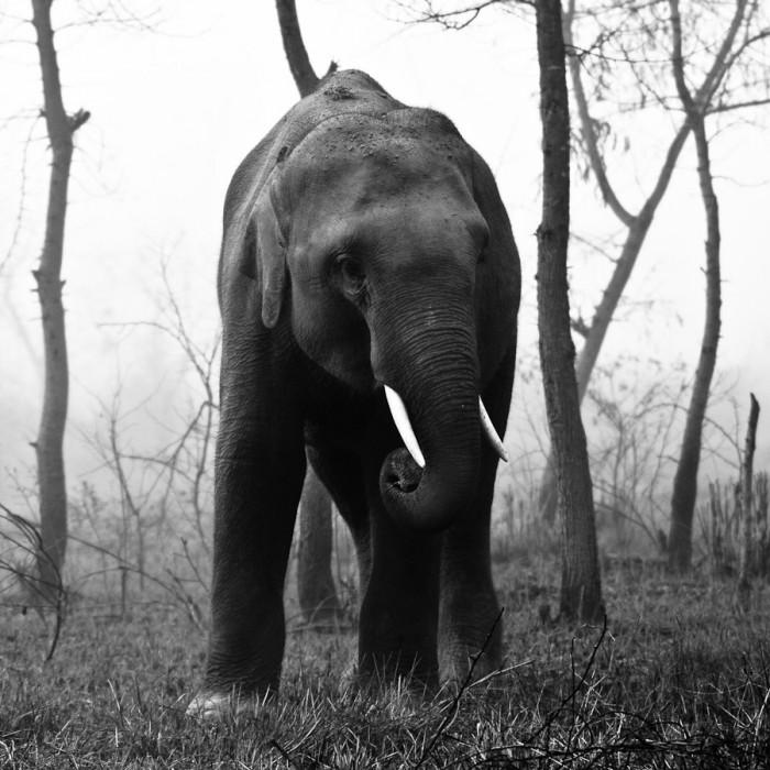 Elephant au Nepal