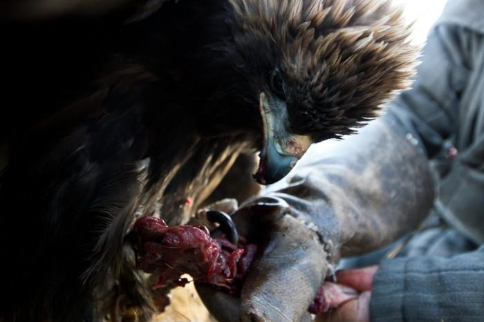 Chasse à l'aigle en Mongolie