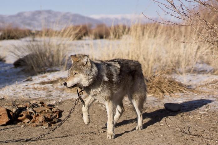 Loup gris de Mongolie